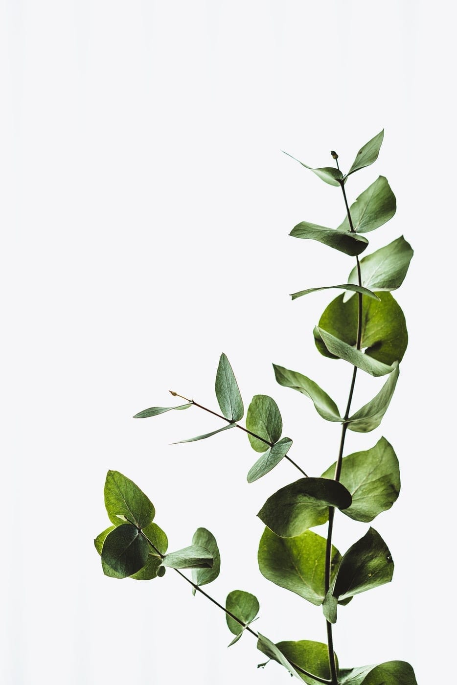 aromaterapi eukalyptus
